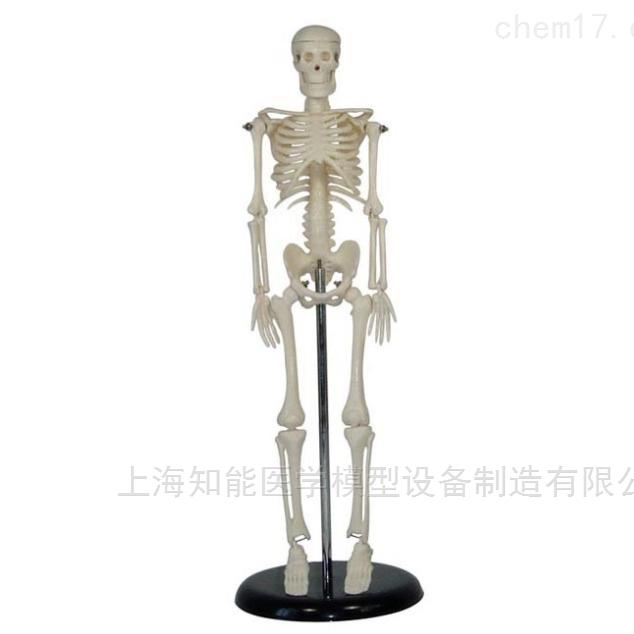 人体全身骨骼模型