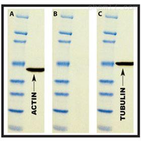 786-119G-Biosciences 免疫印迹抗体剥离缓冲液5X